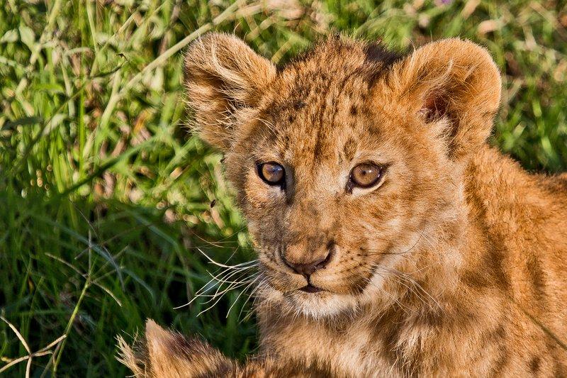 large_Lion_6-101.jpg