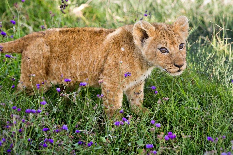 large_Lion_6-104.jpg
