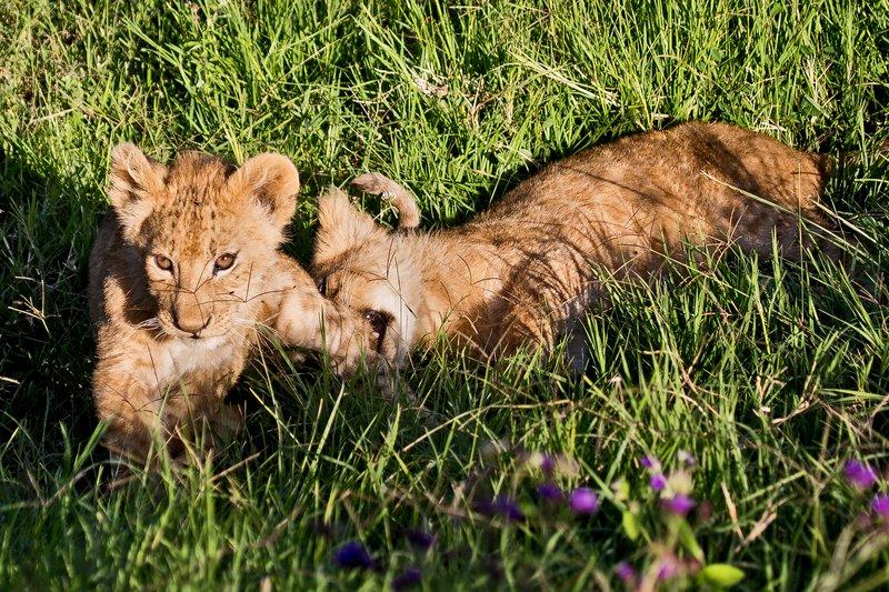 large_Lion_6-106.jpg
