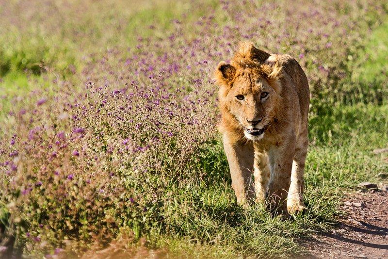 large_Lion_6-11.jpg