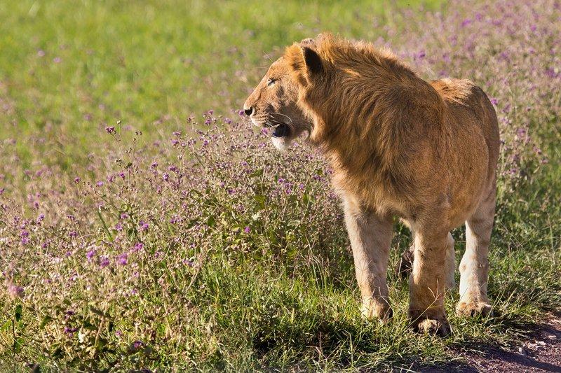 large_Lion_6-12.jpg