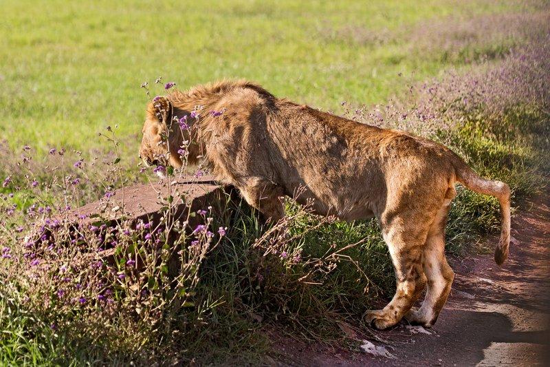 large_Lion_6-13.jpg