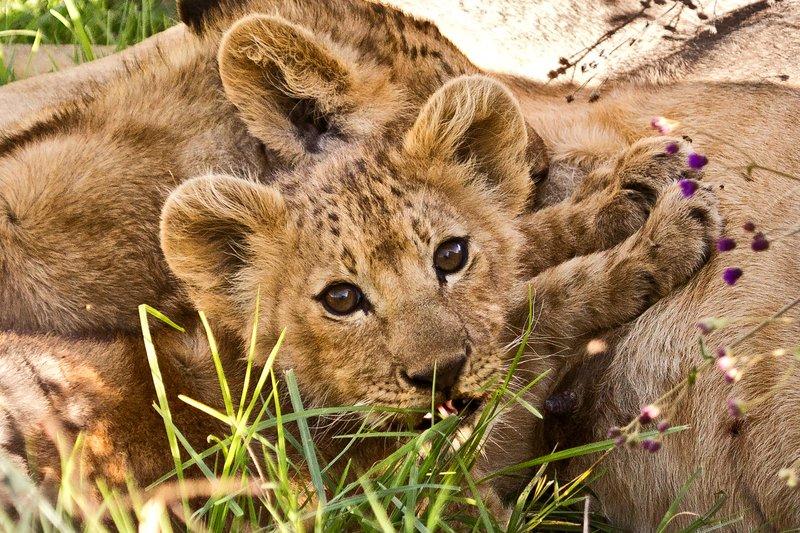 large_Lion_6-15.jpg