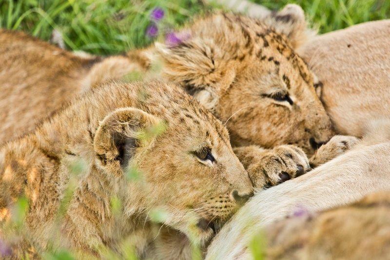 large_Lion_6-27.jpg