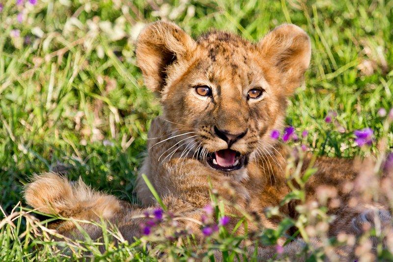 large_Lion_6-51.jpg