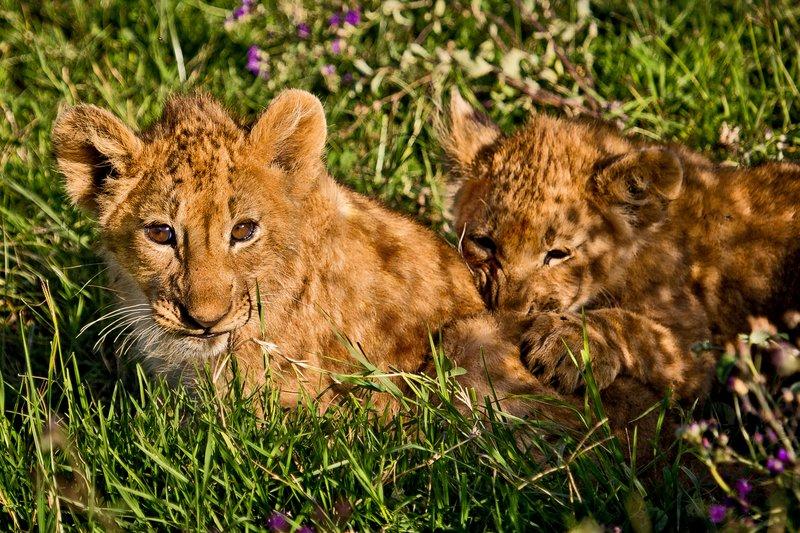 large_Lion_6-59.jpg