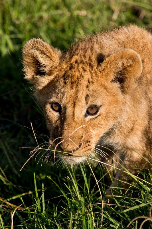 large_Lion_6-70.jpg