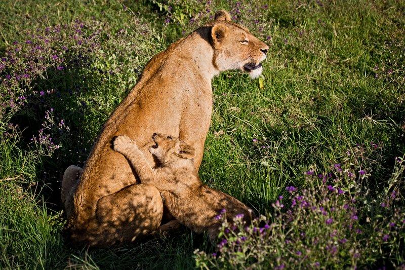 large_Lion_6-78.jpg