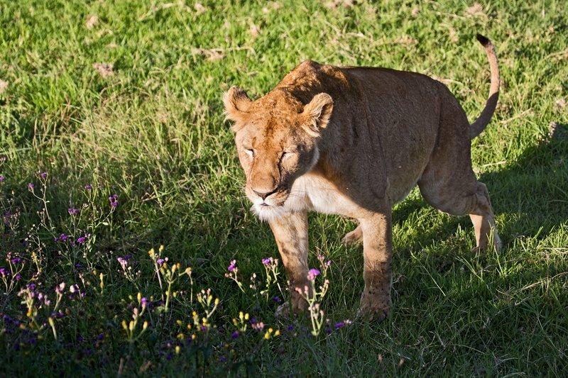 large_Lion_6-92.jpg