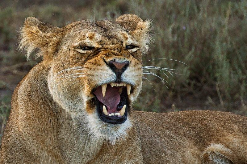 large_Lion_65.jpg