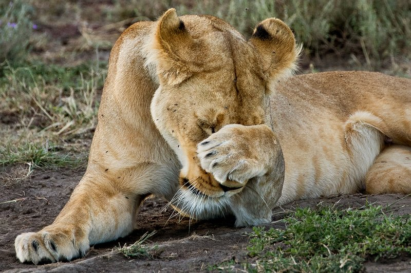 large_Lion_69.jpg
