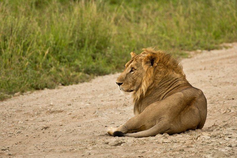large_Lion_73.jpg