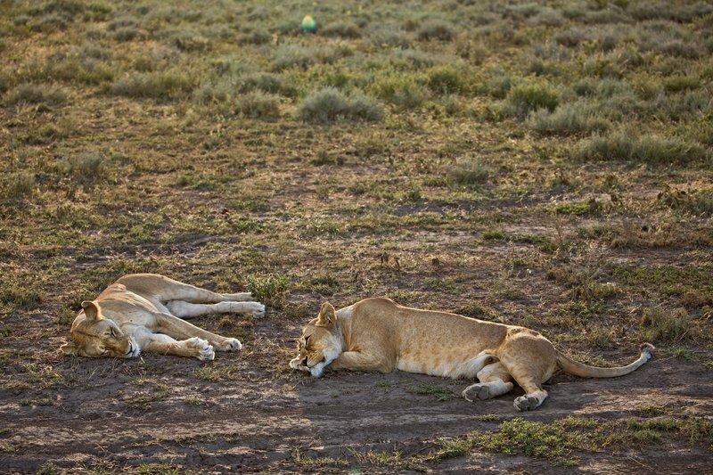 large_Lion_75.jpg