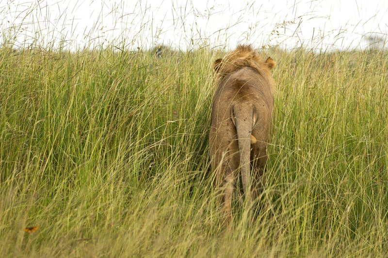 large_Lion_77.jpg