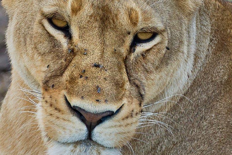 large_Lion_77B.jpg