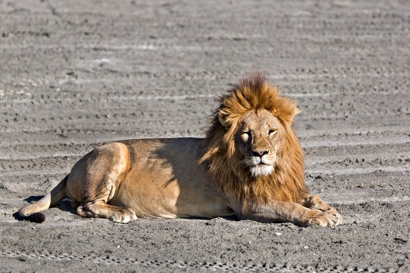 large_Lion_8-1.jpg