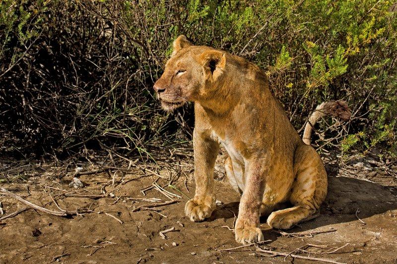 large_Lion_8-102.jpg