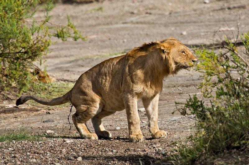 large_Lion_8-109.jpg