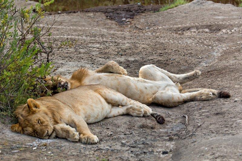 large_Lion_8-124.jpg