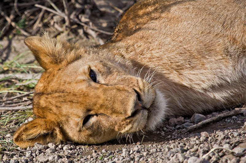 large_Lion_8-125.jpg