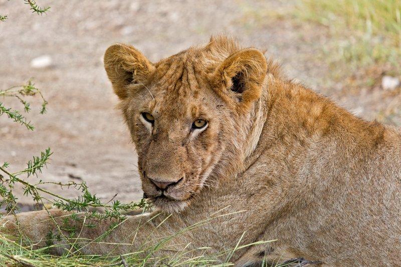 large_Lion_8-128.jpg