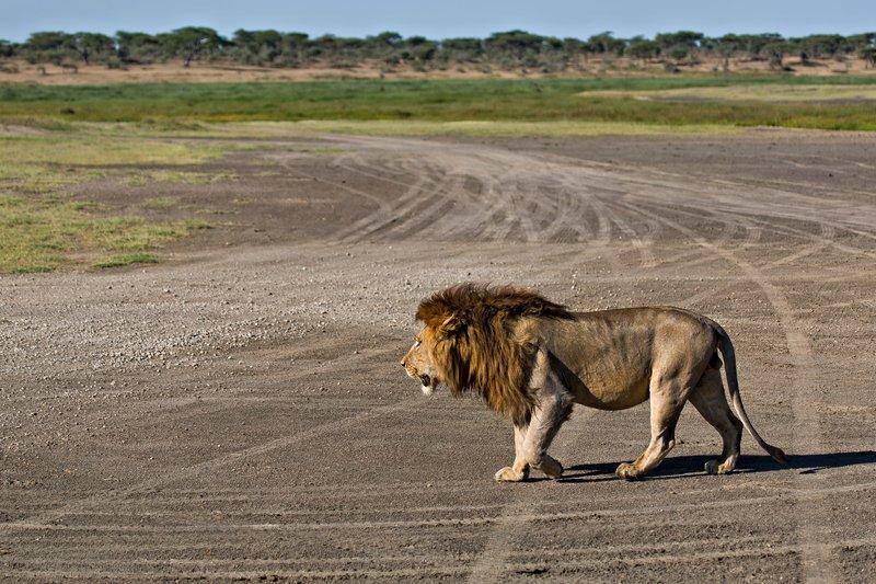large_Lion_8-13.jpg