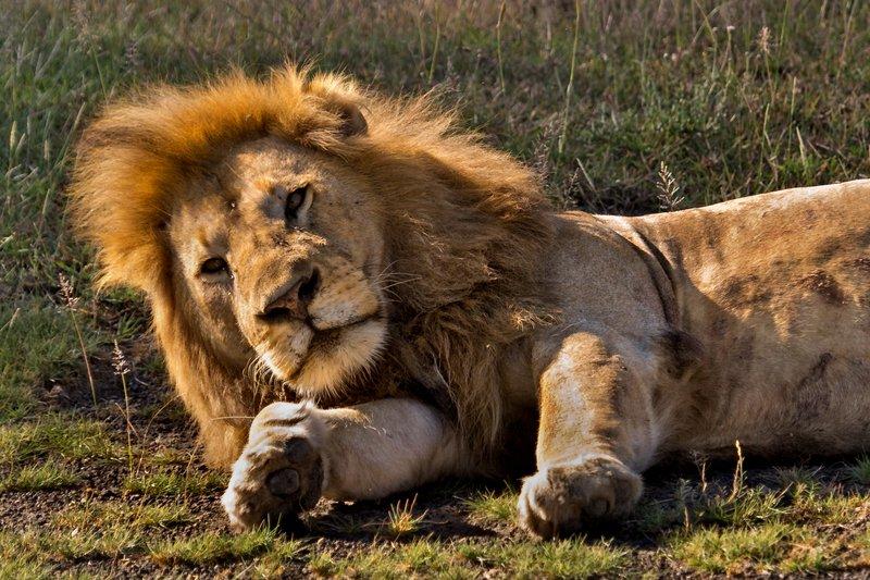 large_Lion_8-17.jpg