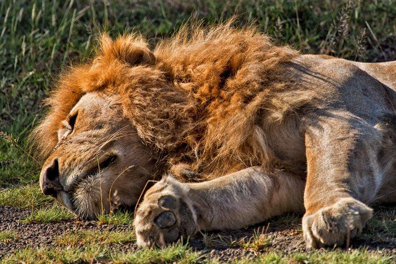 large_Lion_8-18.jpg