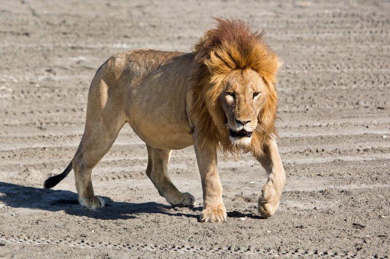 large_Lion_8-6.jpg