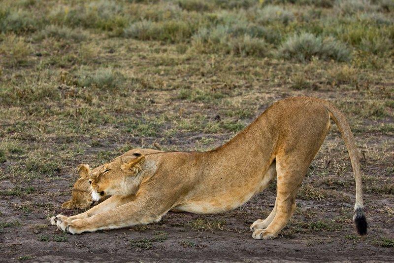 large_Lion_88.jpg
