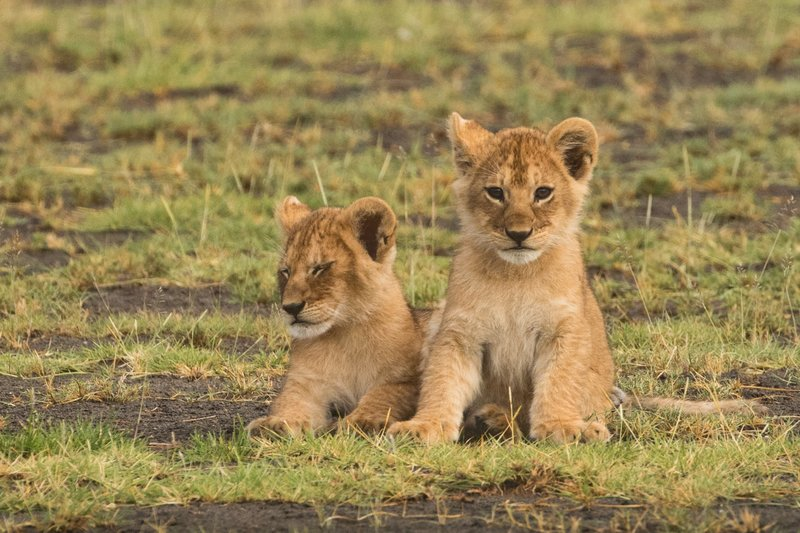 large_Lion_Cubs_1.jpg