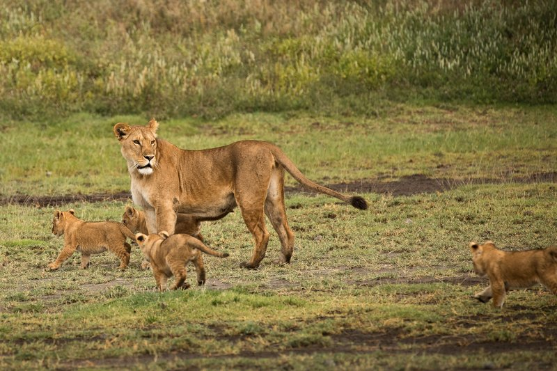 large_Lion_Cubs_16.jpg