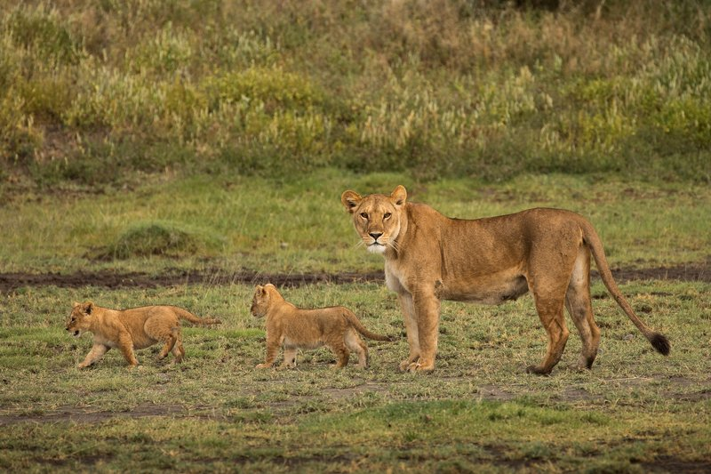 large_Lion_Cubs_17.jpg