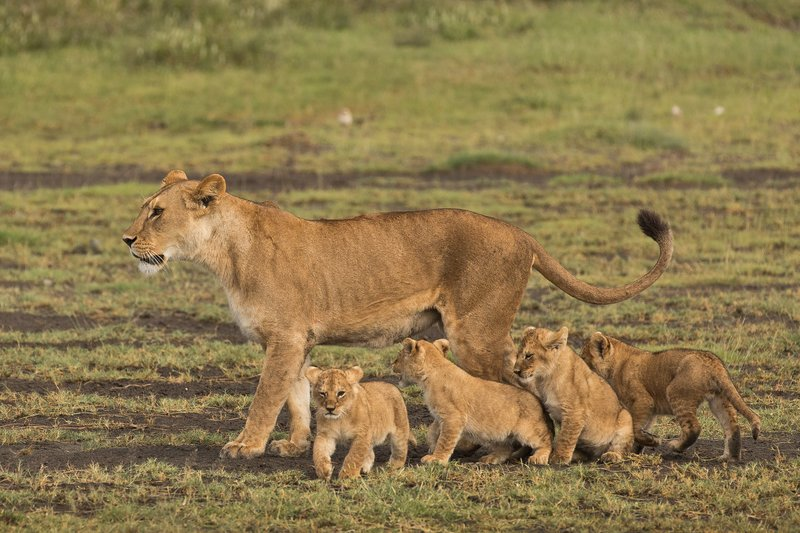 large_Lion_Cubs_2.jpg