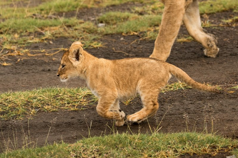 large_Lion_Cubs_28.jpg
