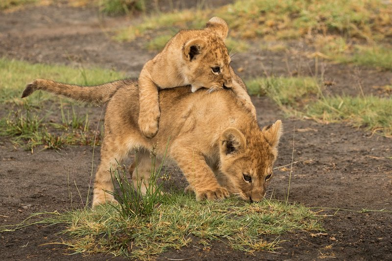 large_Lion_Cubs_30.jpg