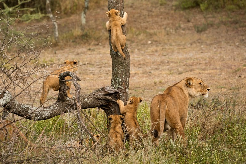large_Lion_Cubs_46.jpg