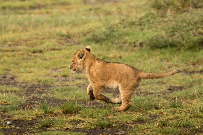 large_Lion_Cubs_49.jpg