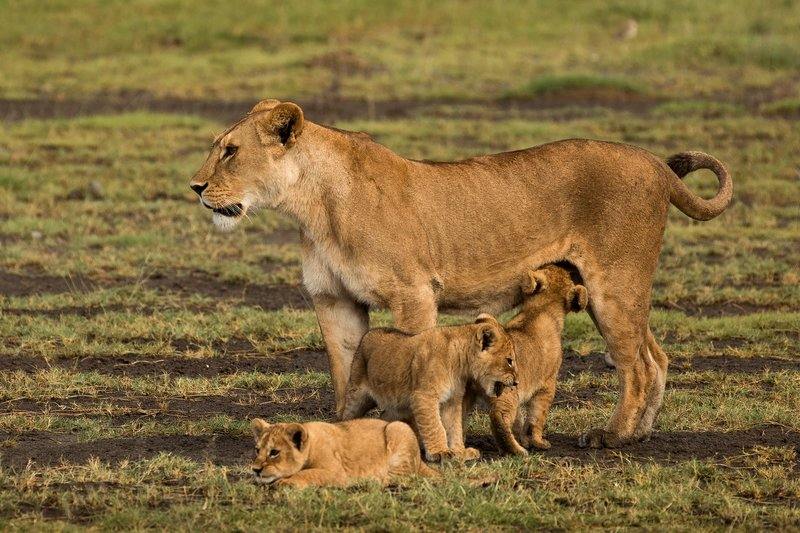 large_Lion_Cubs_5.jpg