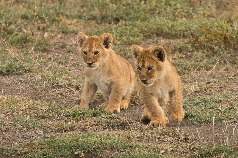 large_Lion_Cubs_51.jpg