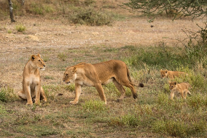 large_Lion_Cubs_55.jpg