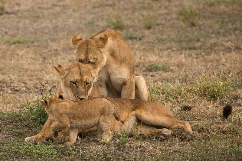 large_Lion_Cubs_57.jpg