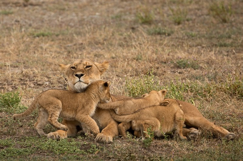large_Lion_Cubs_59.jpg