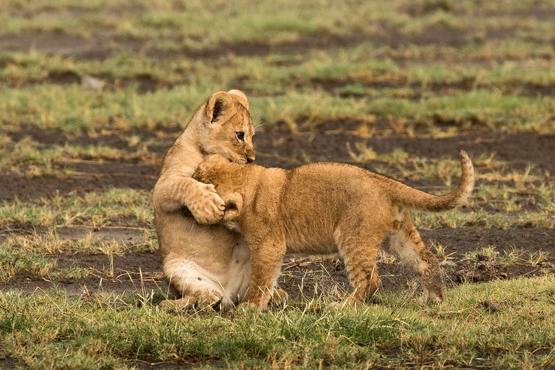 large_Lion_Cubs_6.jpg