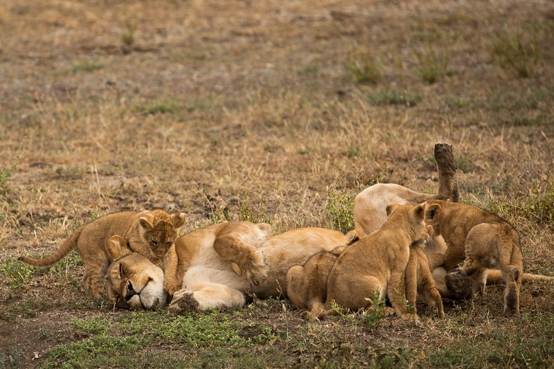 large_Lion_Cubs_61.jpg