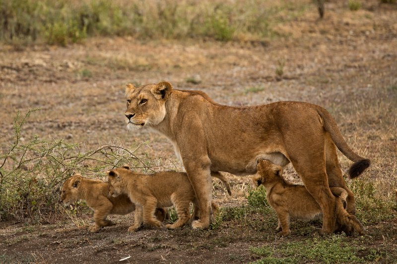 large_Lion_Cubs_69.jpg