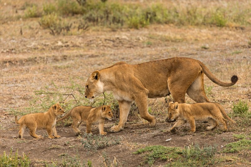 large_Lion_Cubs_72.jpg