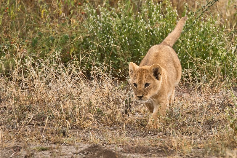 large_Lion_Cubs_75.jpg