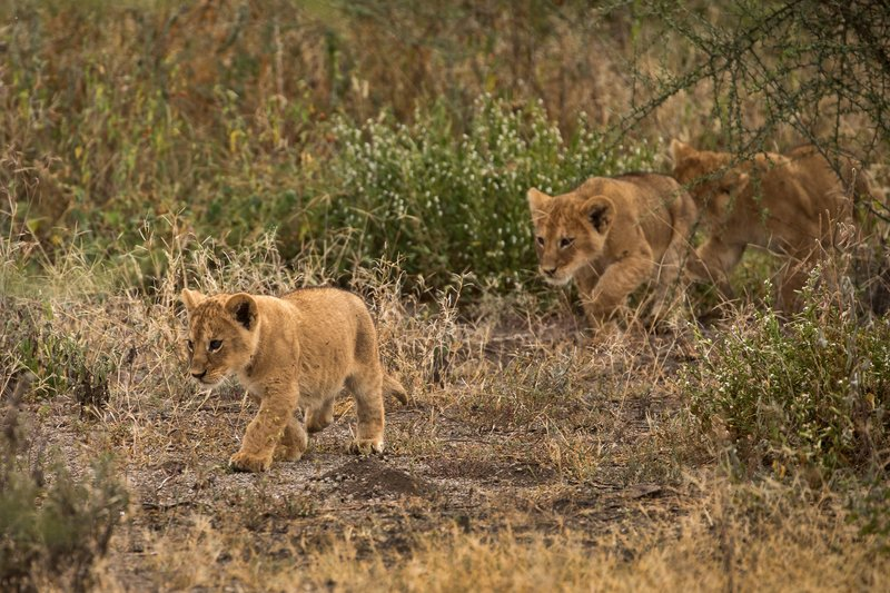large_Lion_Cubs_79.jpg