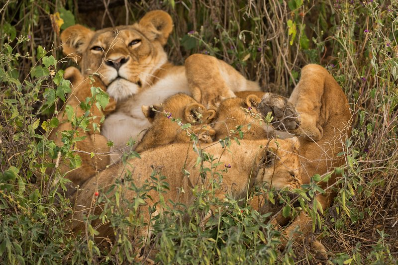 large_Lion_Cubs_82.jpg
